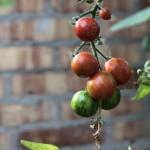Beskær toppen af tomatplanterne.