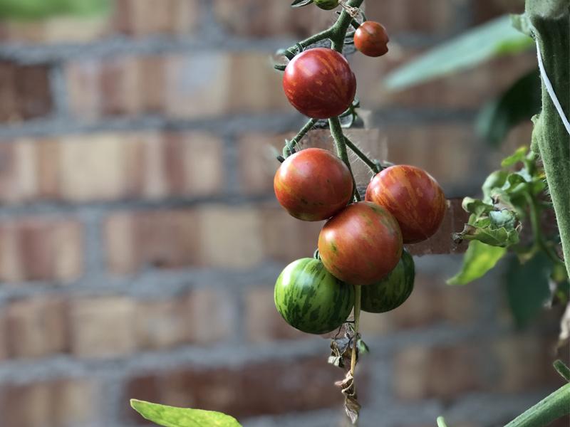 Beskær toppen af tomatplanterne