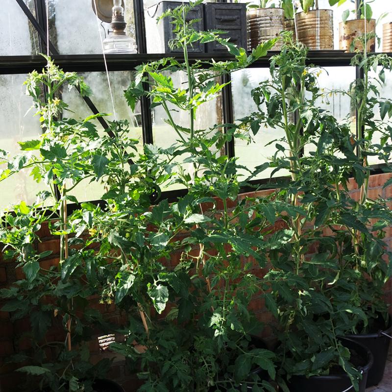 Dyrk tomater i spand