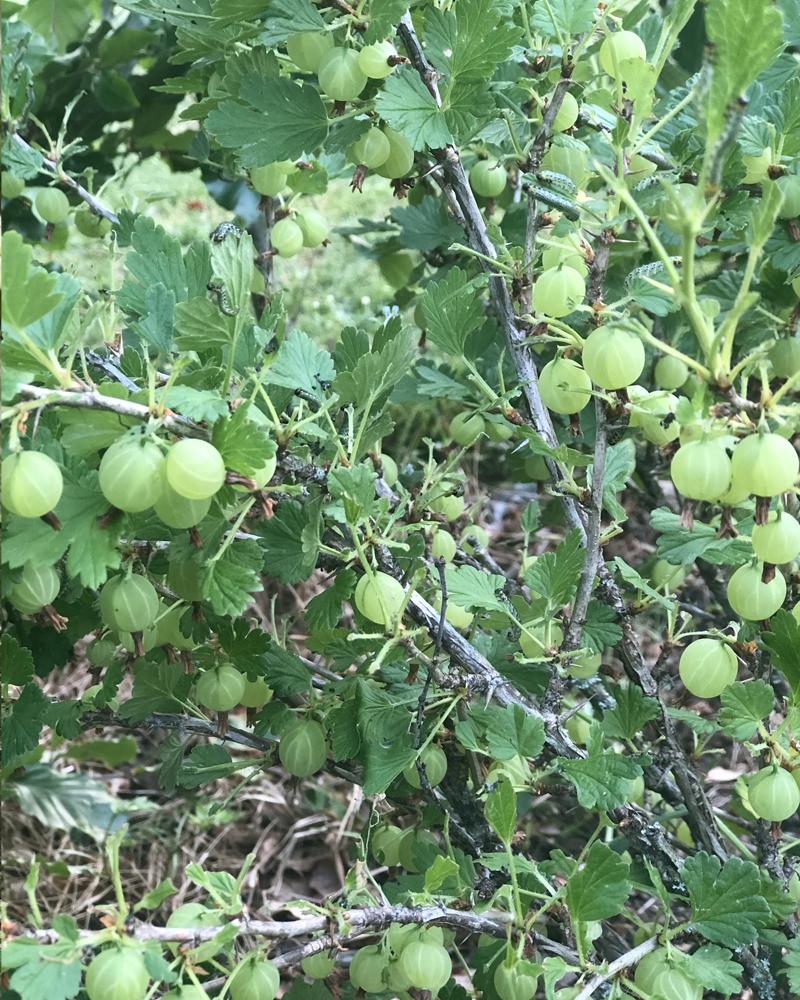 Stikkelsbærmarmelade