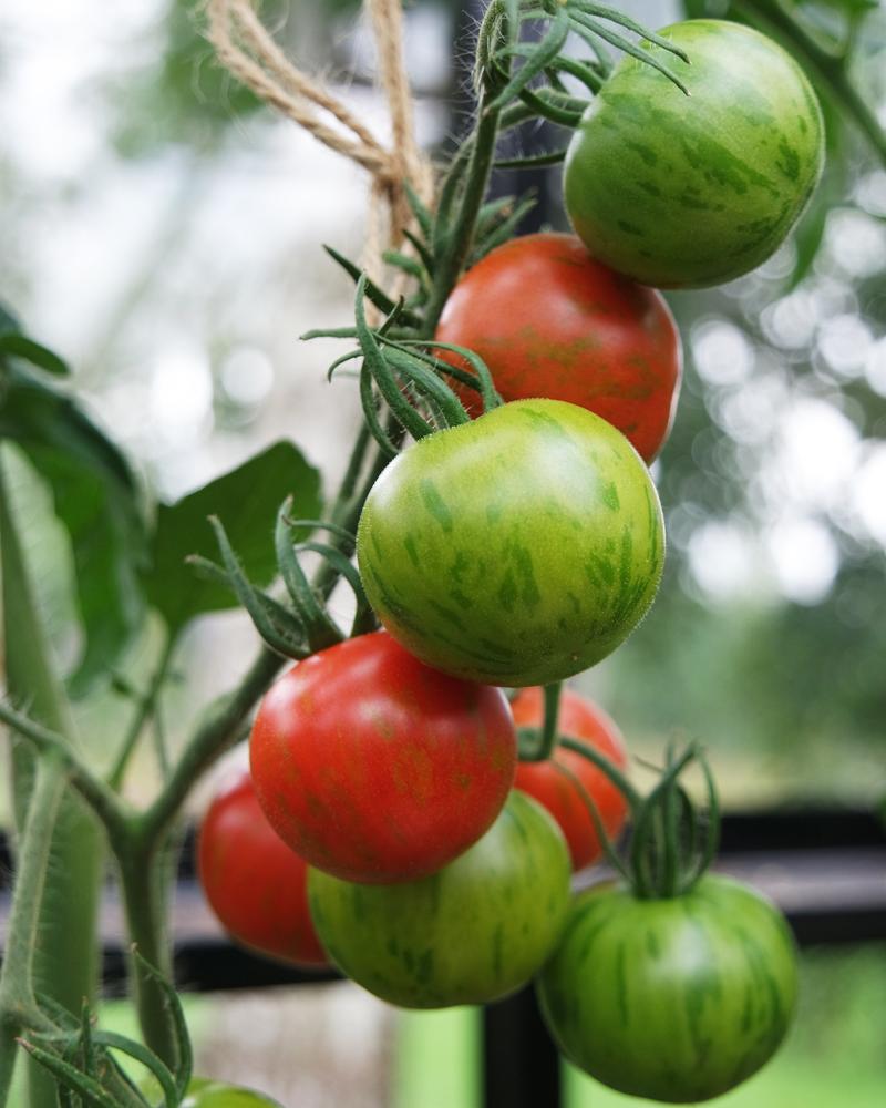 Hvordan får man held med sine tomater?